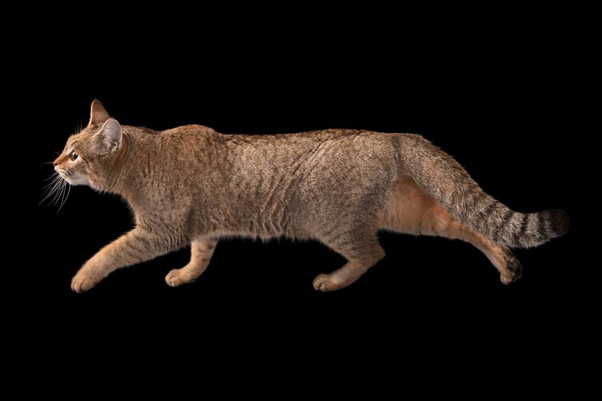 Степные коты, являющиеся предками домашней кошки