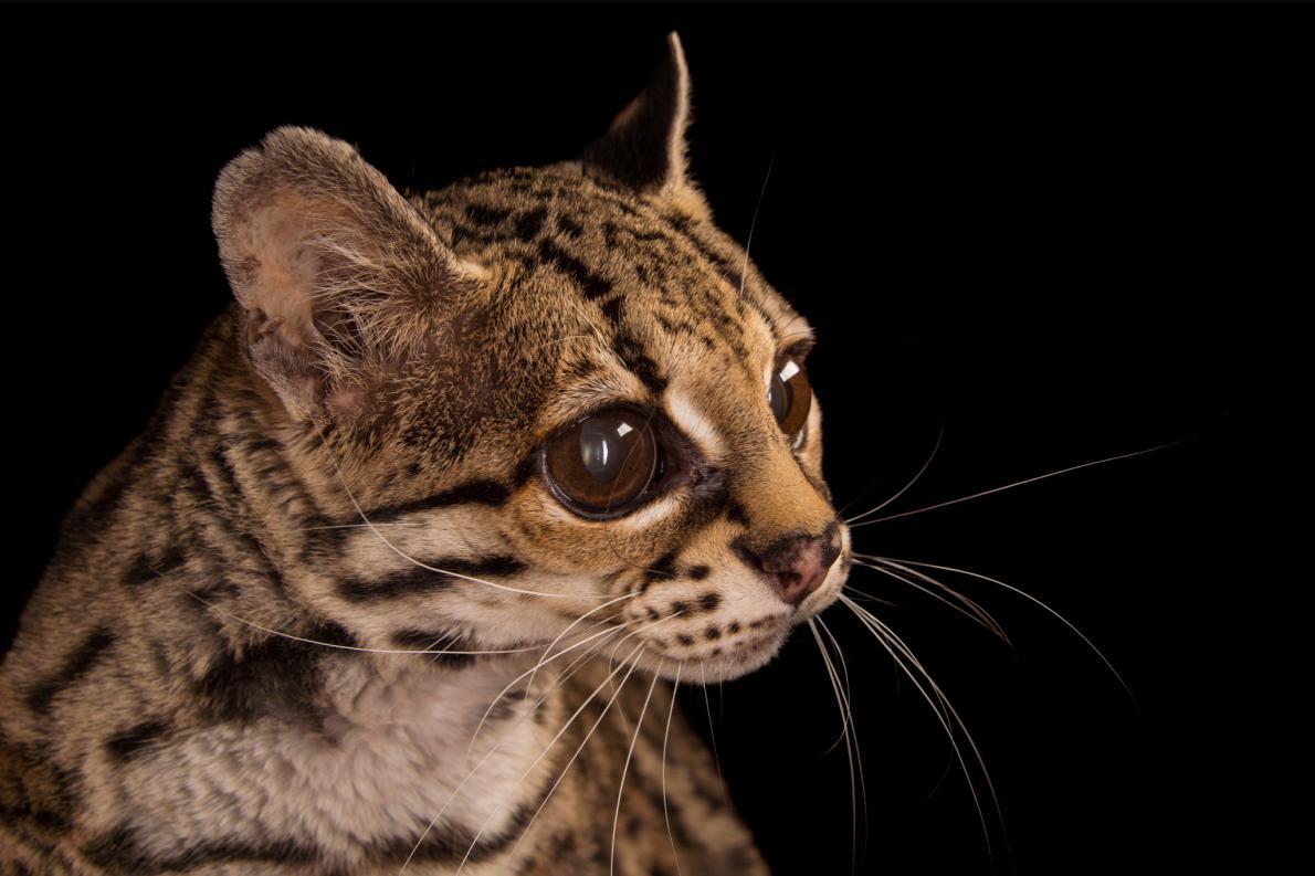 Маргай, или длиннохвостая кошка