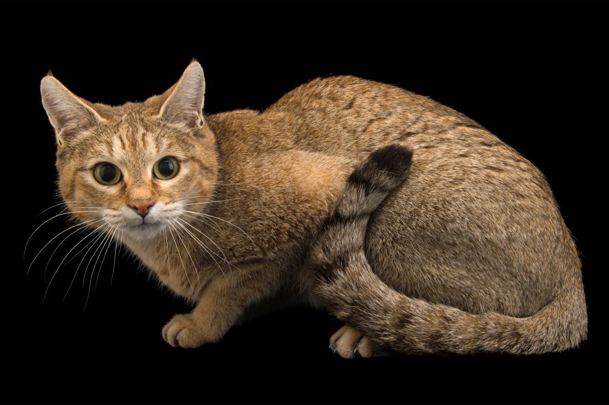 Felis silvestris ornata, или азиатская дикая кошка