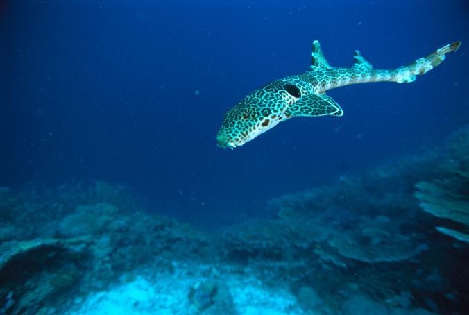 Глазчатая кошачья акула