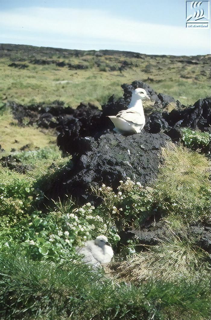 Глупыши (Fulmarus) - одни из первых животных, которые начали селиться на острове Сюртсей