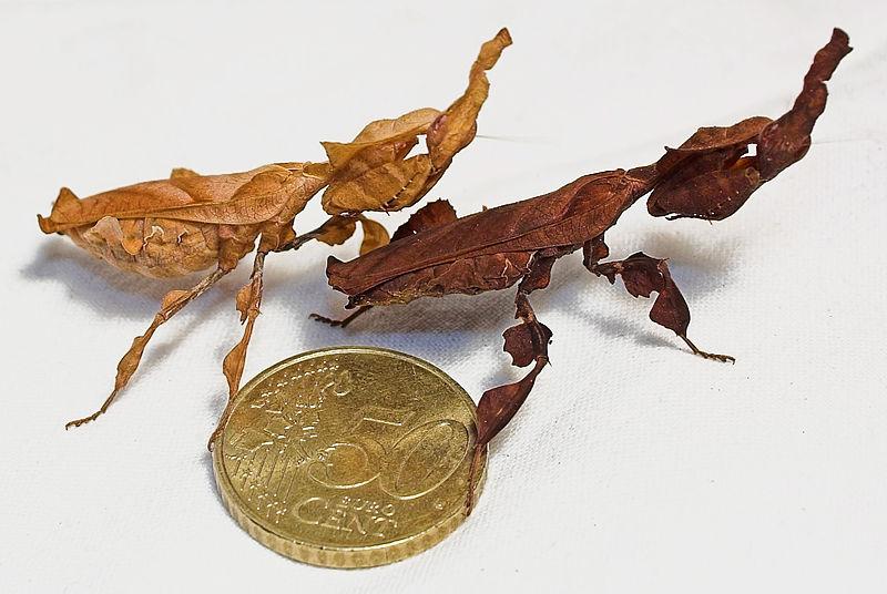 Богомол (Phyllocrania Paradoxa)