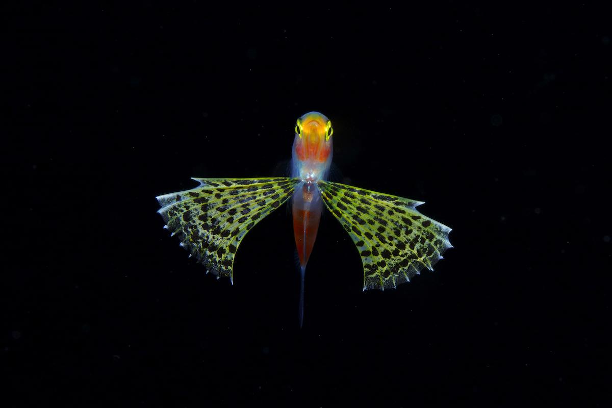 Личинка рода Gymnapogon. Длина тела: 35 мм