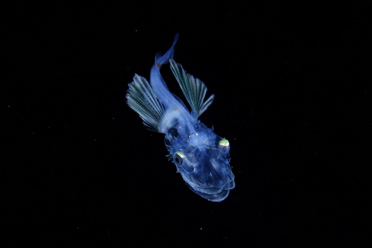 Личинка родаHoplichthys. Длина тела: 30 мм