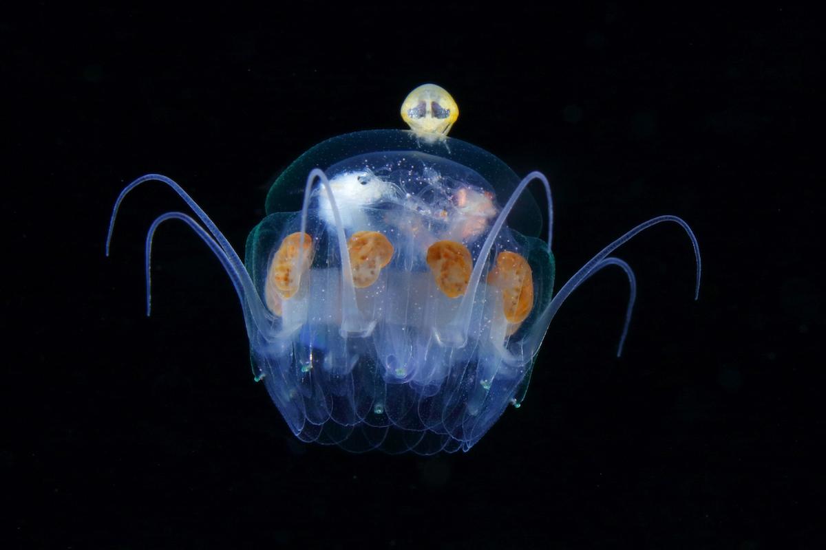 Медуза Nausithoe aurea.Ширина мезоглеи (зонтика): 20 мм