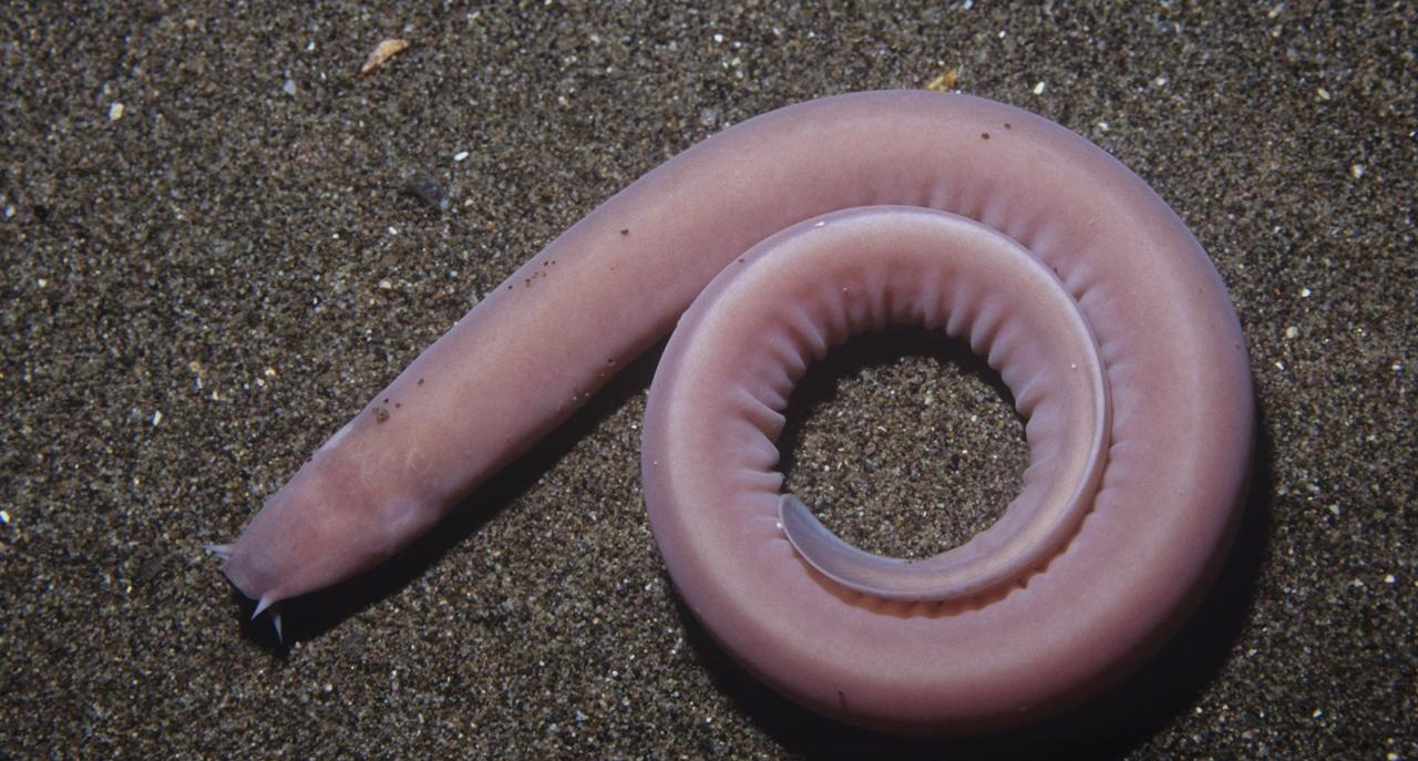 Тихоокеанский пиявкорот (Eptatretus stoutii)