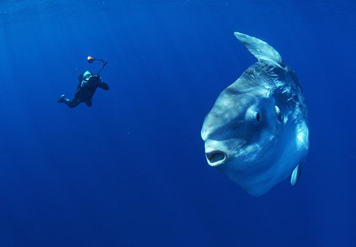 Обыкновенная луна-рыба (Mola mola)