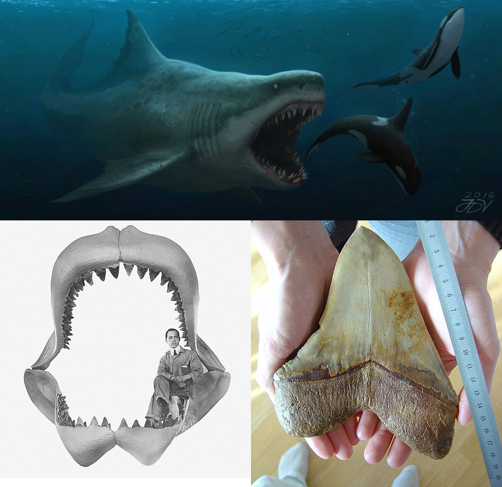 Мегалодон (Carcharocles megalodon)