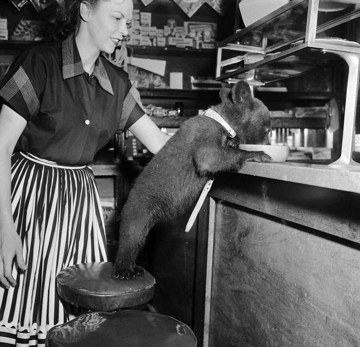 Медведь ест мёд из миски в кафе, 1950 год