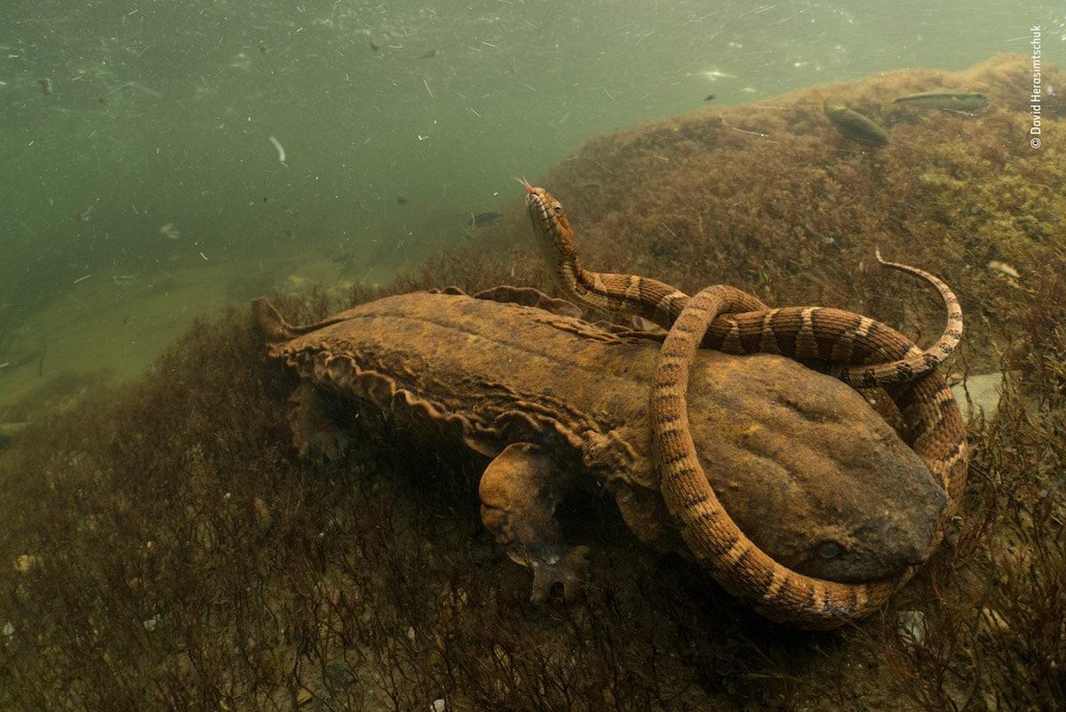 Победитель в номинации «Амфибии и рептилии». Фотограф David Herasimtschuk