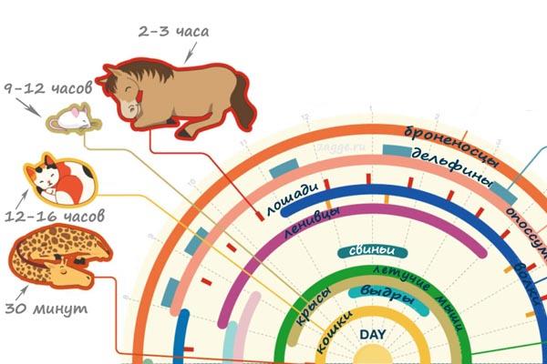 Продолжительность сна у различных видов животных (инфографика)