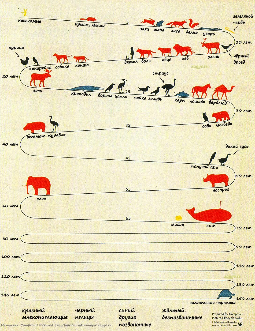Продолжительность жизни животных (инфографика)