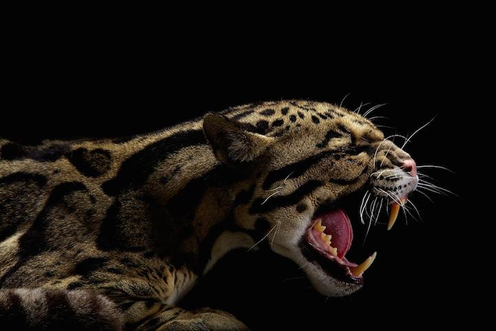 Элегантная красота больших кошек в снимках фотографа National Geographic