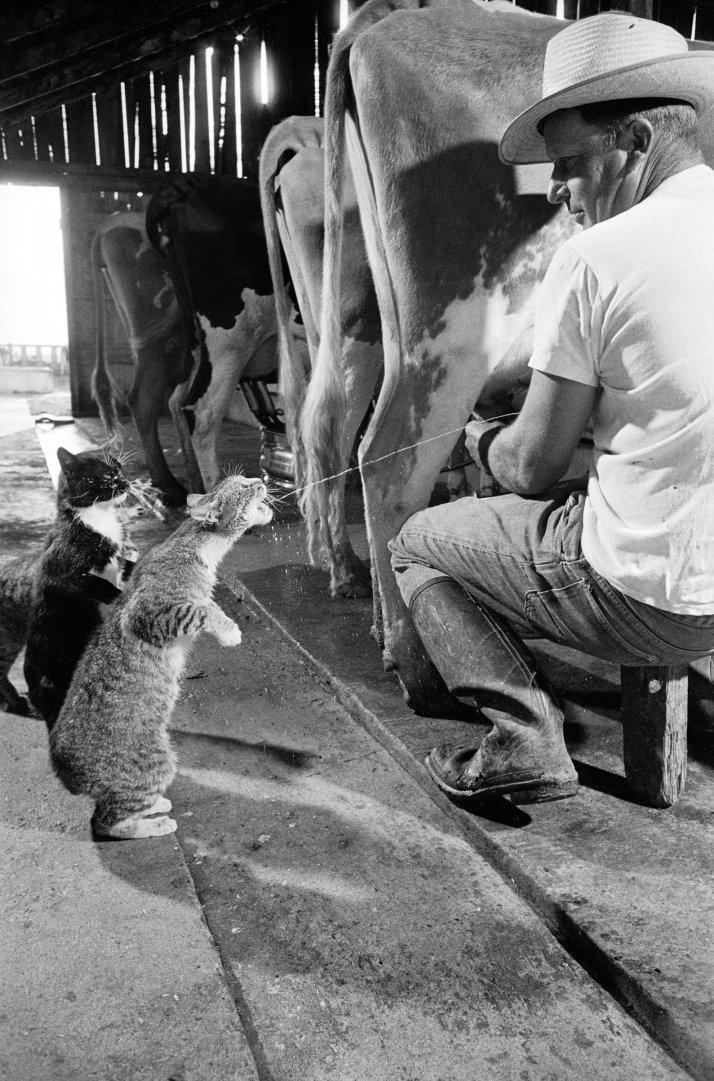 Кошки Блэки и Брауни во время доения коров на молочной ферме, 1954 год