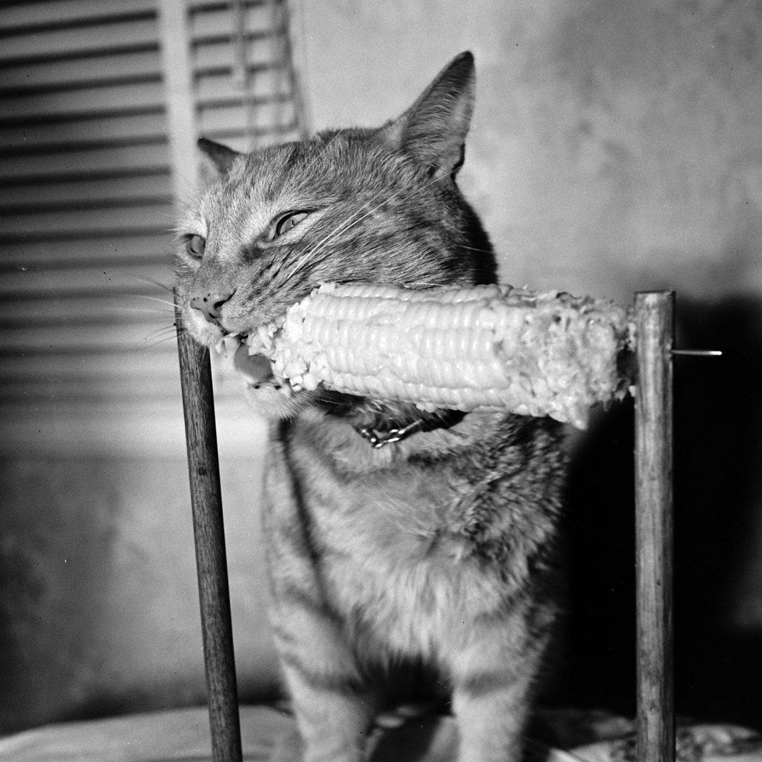 Любитель кукурузы, 1951 год