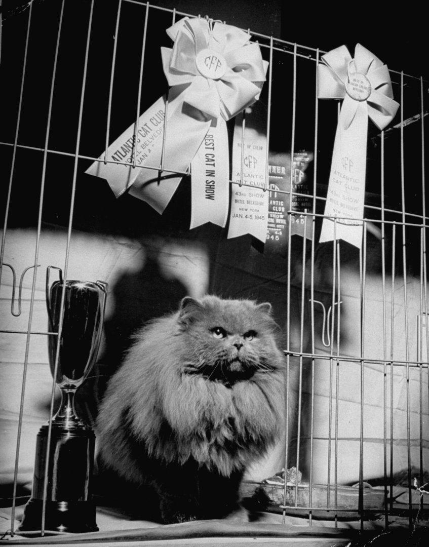 Кошка позирует со своими наградами на выставке в Атлантик-Сити, 1945 год