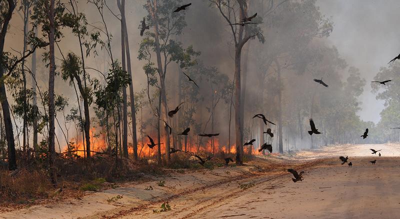 Чёрные коршуны во время лесного пожара кружат в поисках тлеющих веток