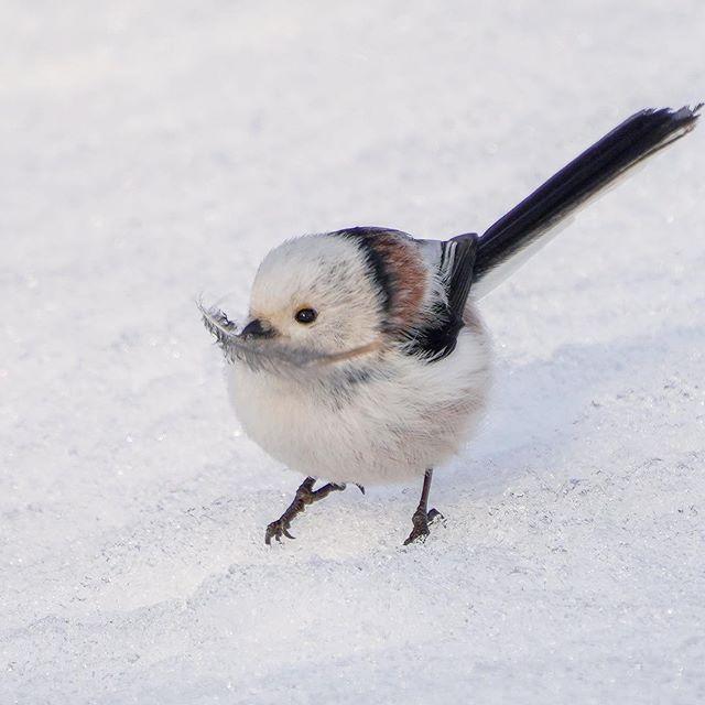 Длиннохвостая синица - очаровательное создание природы
