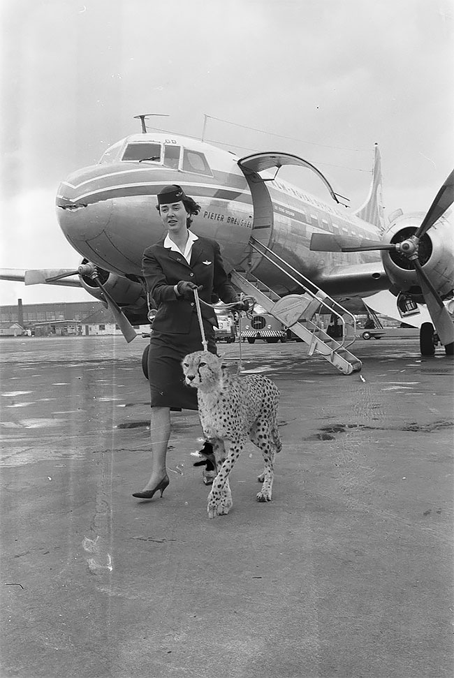 9. Стюардесса выгуливает гепарда в аэропорту Амстердама