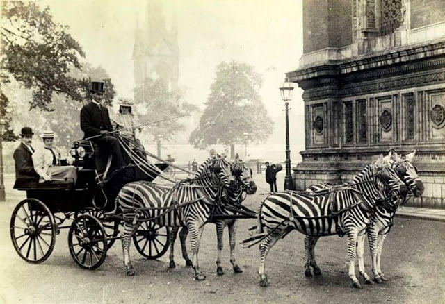 7. Зебры, запряженные в повозку вместо лошадей