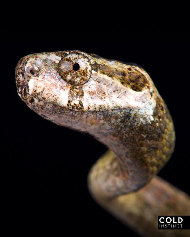 Ремневидная змея (Aplopeltura boa)