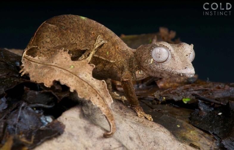 Листохвостый геккон (Uroplatus phantasticus)