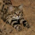 Черноногая кошка - машина смерти или очаровательная и самая опасная кошка в мире