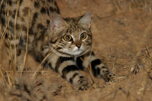 Черноногая кошка — машина смерти или очаровательная и самая опасная кошка в мире