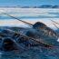 Нарвалы — таинственные «единороги» северных морей