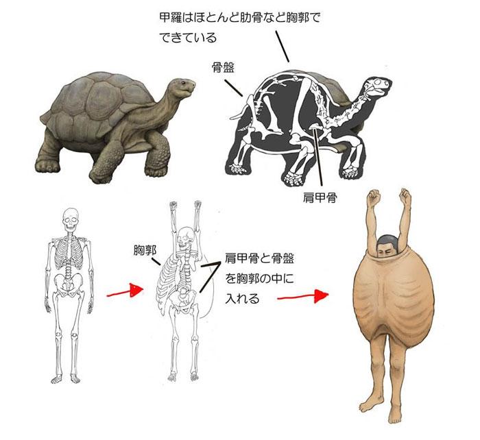 Как бы выглядела анатомия человека с панцирем черепахи