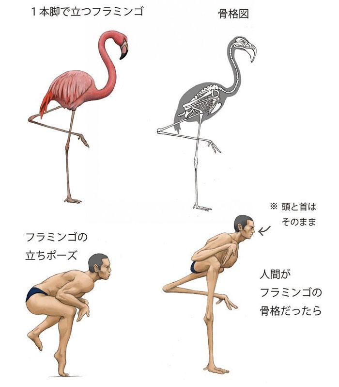 Как бы выглядела анатомия человека со скелетом фламинго