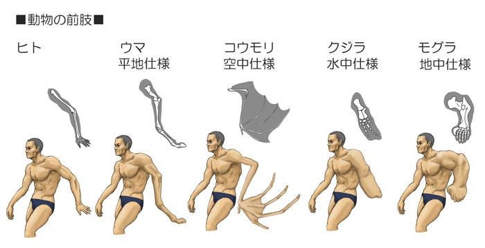 Животные адаптировались к различным средам и в процессе эволюции наибольшие изменения претерпели «передние ноги» (руки)