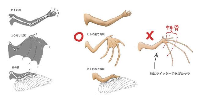 Крыло летучей мыши (старая неверная иллюстрация (справа) и новая с правками) и крыло птицы