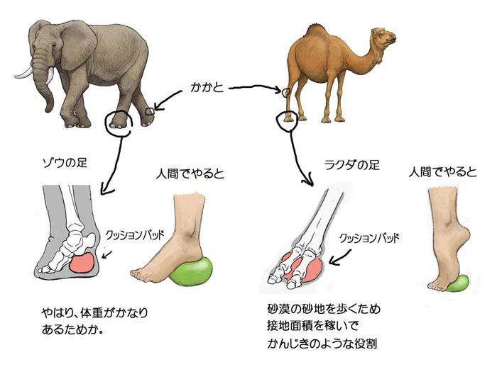 Как бы выглядели человеческие ноги со специальным пружинистым жировым слоем как у слонов и верблюдов