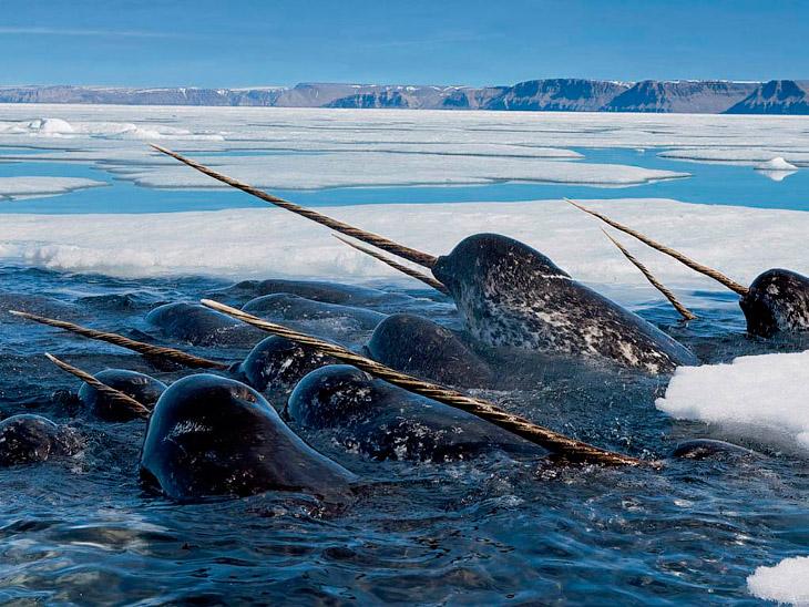 Нарвалы - таинственные «единороги» северных морей