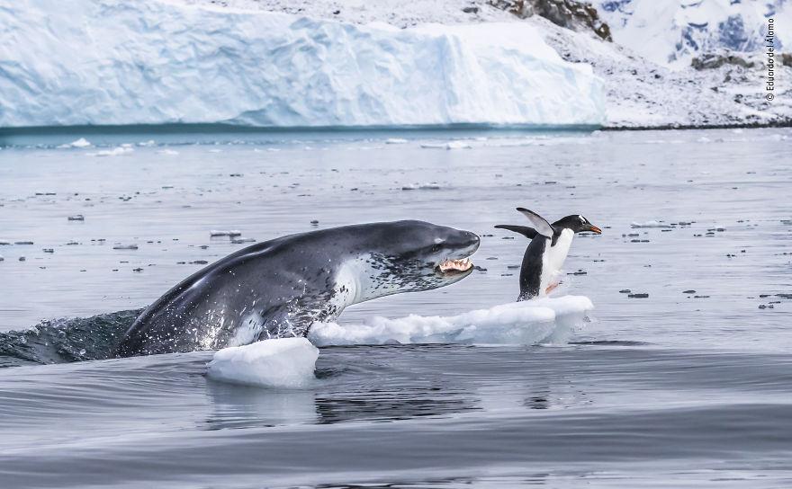 Высокая оценка в категории «Поведение: млекопитающие». Фотограф Eduardo Del Álamo