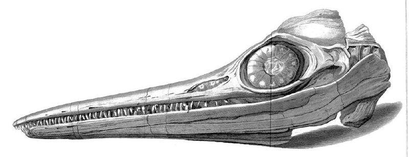 Иллюстрация черепа ихтиозавра, найденного братом Мэри