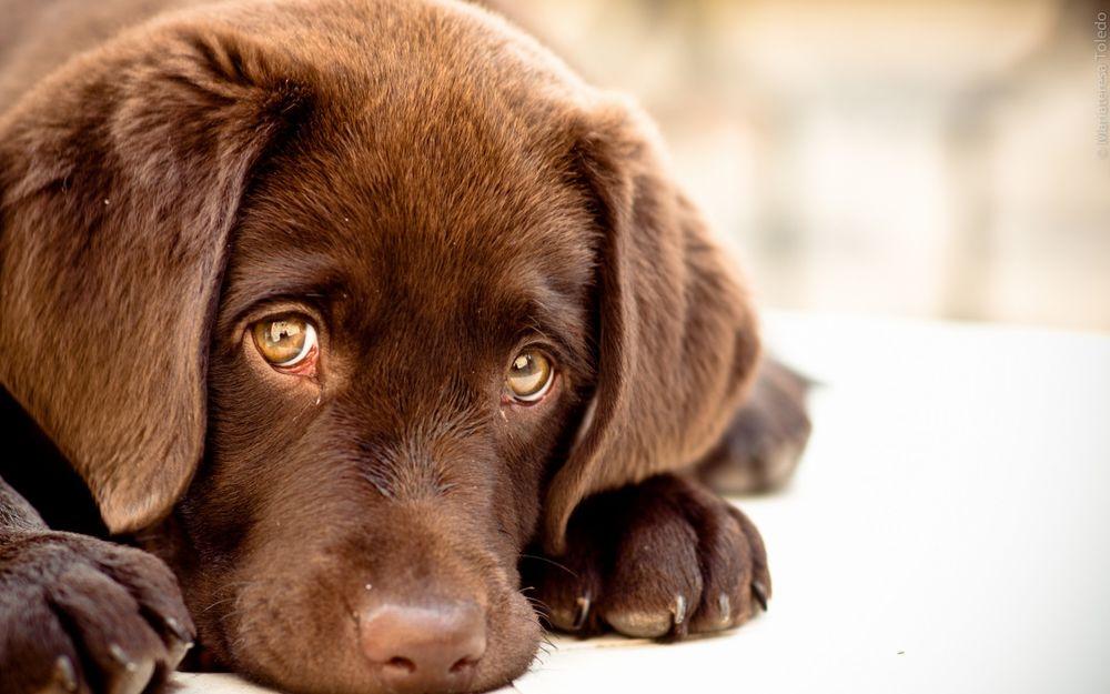 Собаки научились делать «грустные глаза», чтобы манипулировать людьми