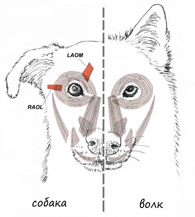 Развитые мышцы выделены красным. Этими мышцами являются (латинский) levator anguli oculi medialis muscle (LAOM) и retractor anguli oculi lateralis (RAOL)