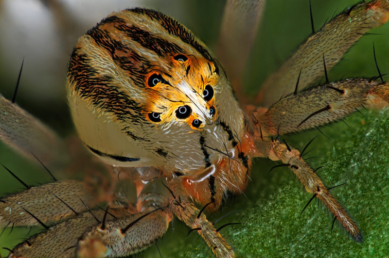 14-е место: самка паука oxyopes dumonti. Фотограф Antoine Franck