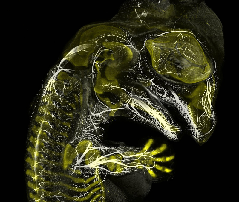 3-е место: эмбрион аллигатора. Фотографы Daniel Smith Paredes и Bhart-Anjan S. Bhullar