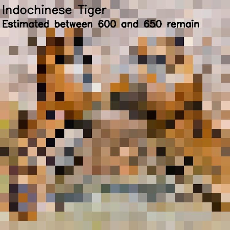 Индокитайский тигр, ≈ 600-650 особей
