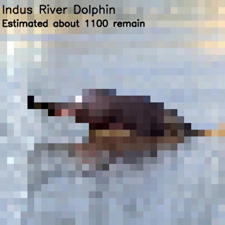 Гангский дельфин, ≈ 1100 особей