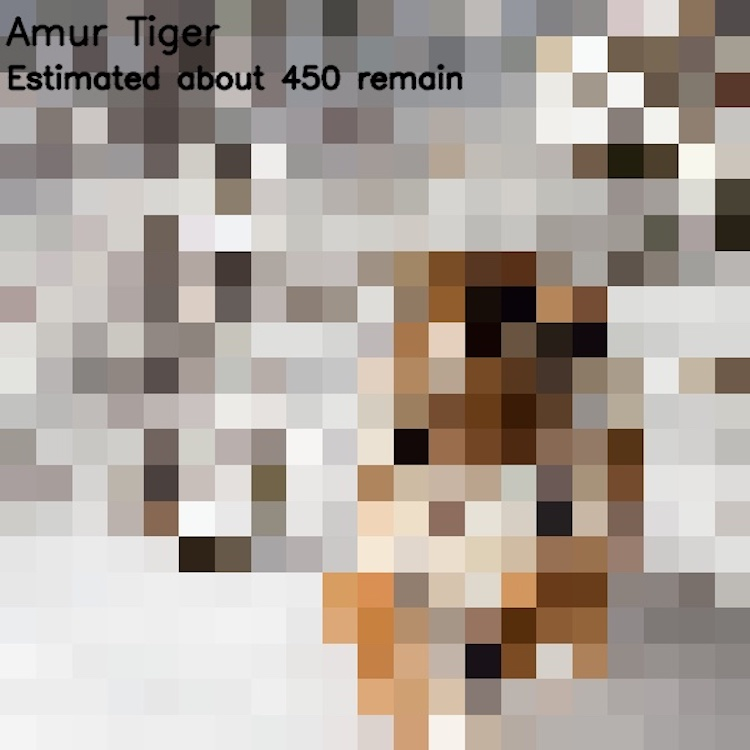 Амурский тигр, ≈ 450 особей