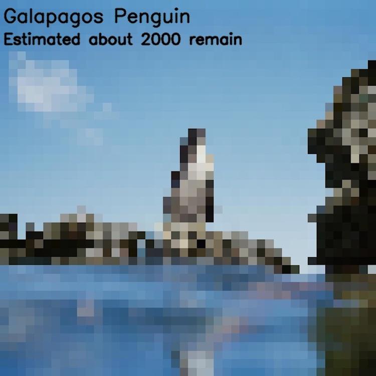 Галапагосский пингвин, ≈ 2000 особей