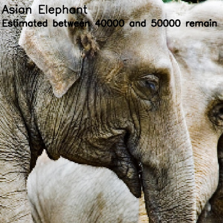 Азиатский слон, ≈ 40 000-50 000 особей
