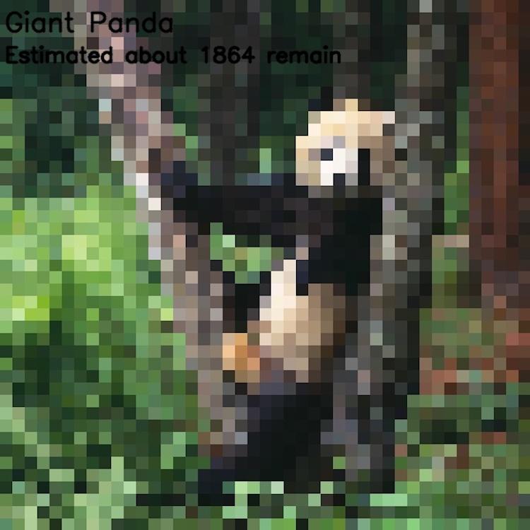 Гигантская панда, ≈ 1864 особи