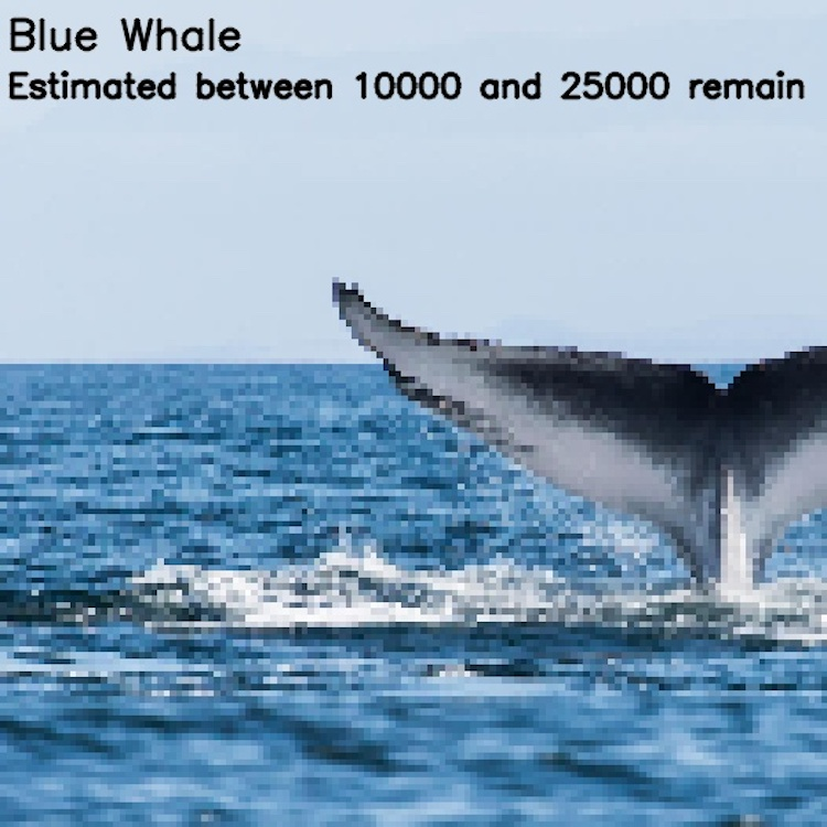 Синий кит, ≈ 10 000-25 000 особей