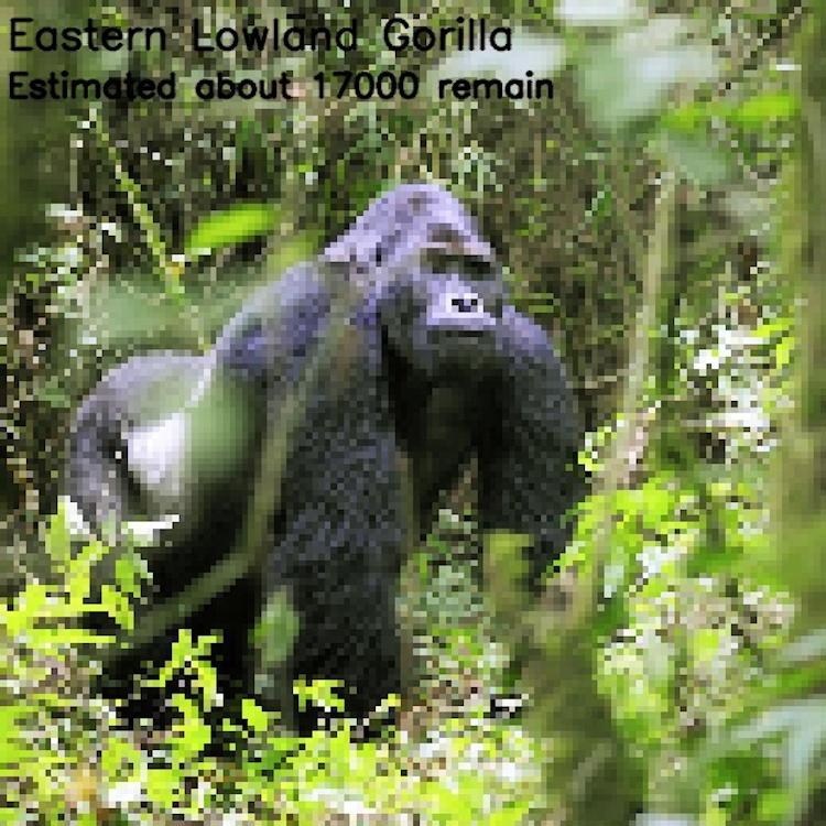 Восточная горилла, ≈ 17 000 особей