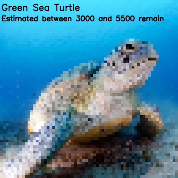 Зелёная черепаха, ≈ 3000-5500 особей